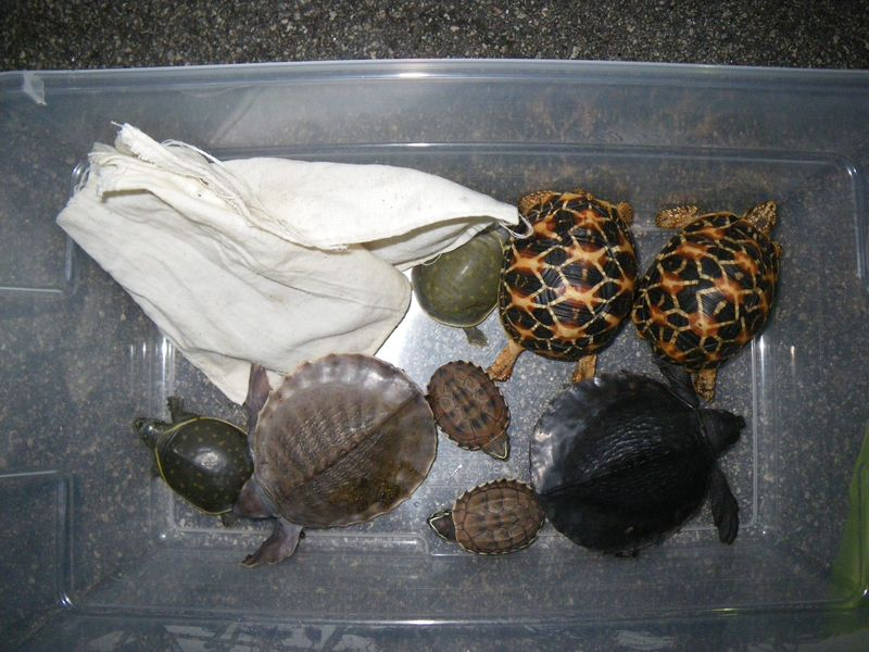 Turtle smuggling - basket of turtles
